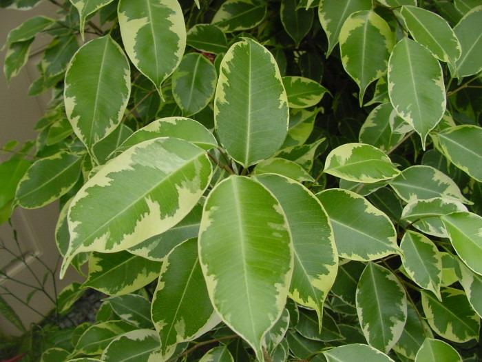 Ficus - clean air at home