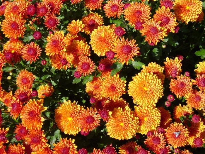 Plants_GardenMum - clean air at home