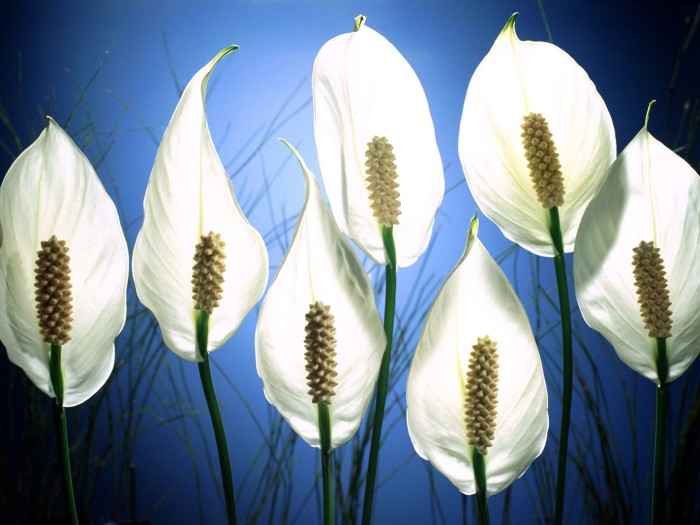 Peace Lily - clean air at home