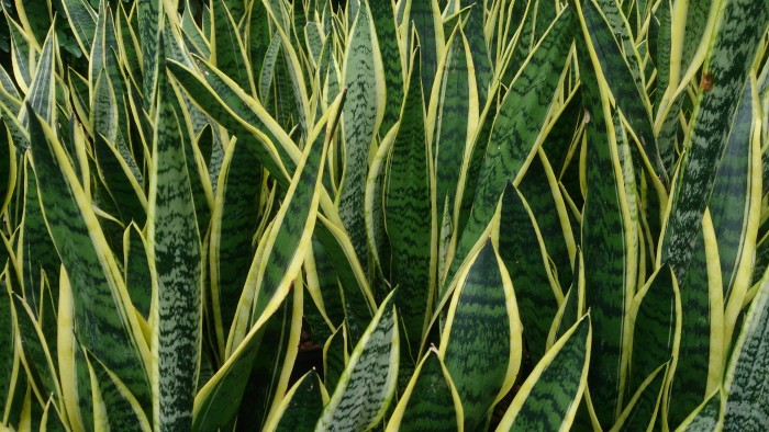 Snake Plant - clean air at home