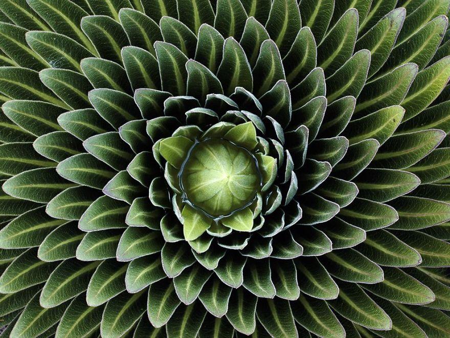 SacredGeometry_Lobelia