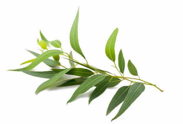 Everything_Soulful_Mood_Enhanging_Herbs_Eucalyptus