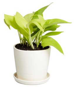 Everything_Soulful_Office_Plants_neon-pothos