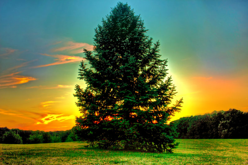 Magical Uses of The Tree of Peace: Pine | EVERYTHiNG SOULFuL