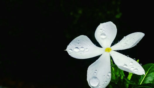 The Divine Energy of Jasmine